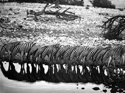 mountain zebra [they are confined to hilly country] by sebastião salgado